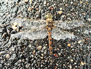 dragonfly photo by kea
