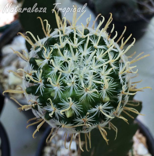 Vista del tallo del cactus Mammillaria crinita ssp. duweii