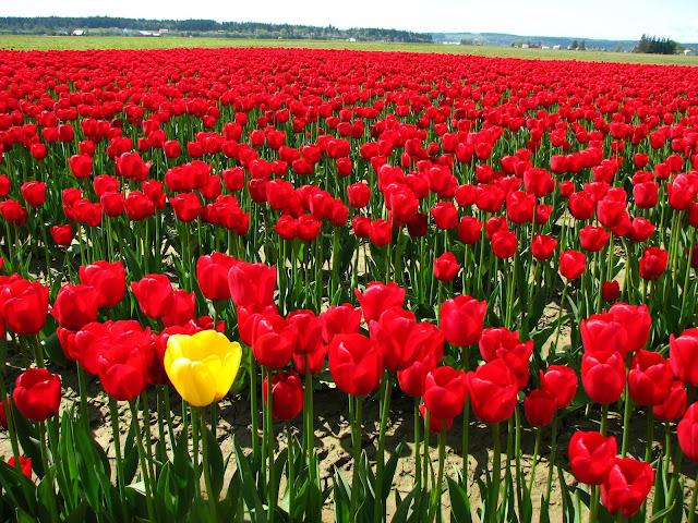 اجمل الورود في العالم الحمراء