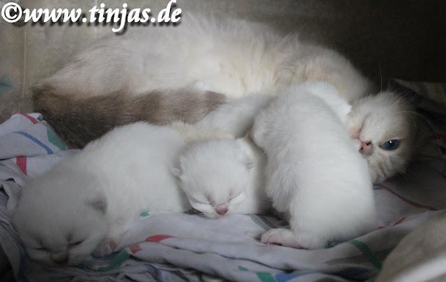 BKH Katzenbabys Frühgeburt, 14. Tag