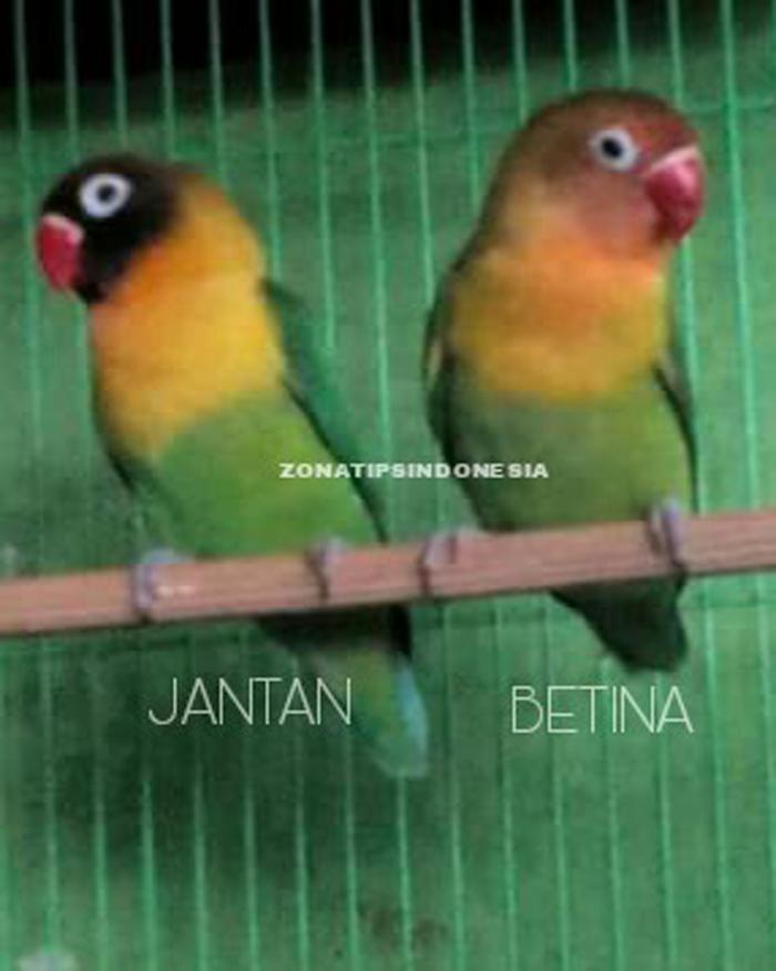 Zona Tips Indonesia Cara Membedakan Jenis Kelamin Burung Lovebird Lengkap Dengan Gambar