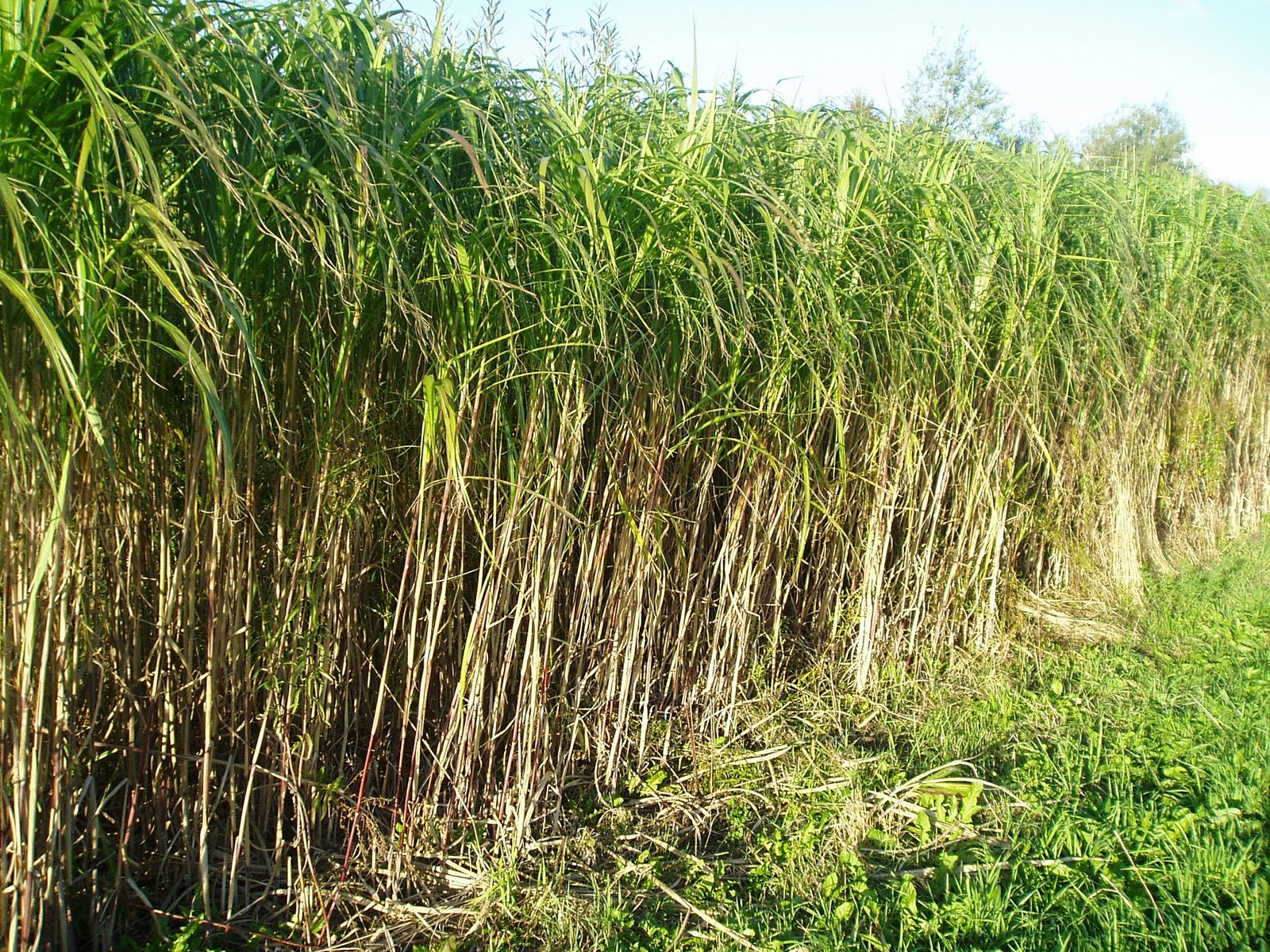 Lovegrass farm miscanthus giganteus ornamental grass at for Tall grass plants for privacy