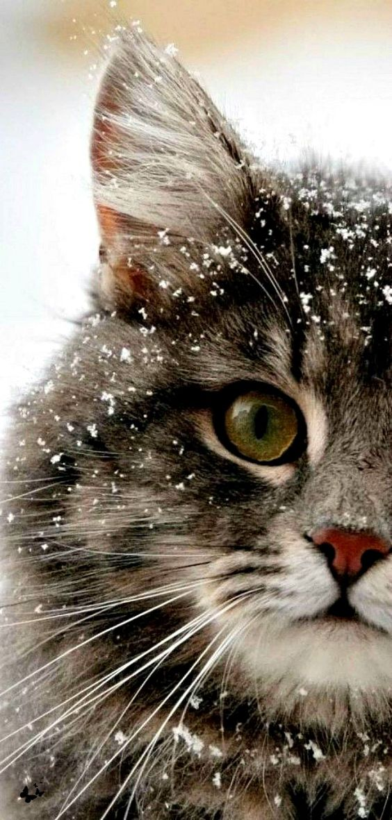 Amazingly Beautiful Detailed Cat Photo In Snow This Is What I say Beauty