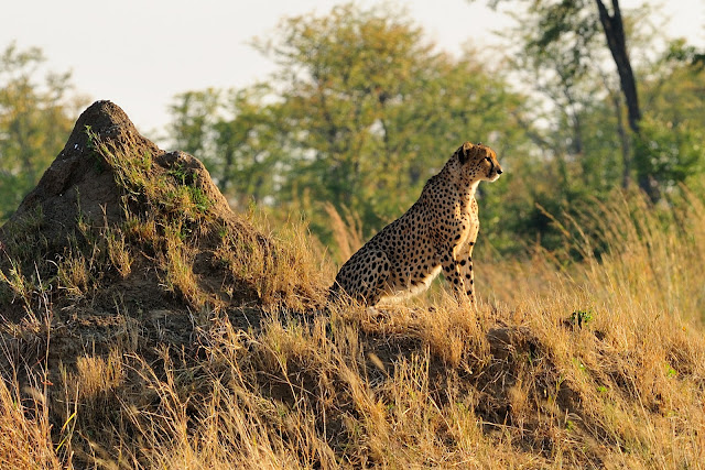 Scientists urge endangered listing urged for cheetahs