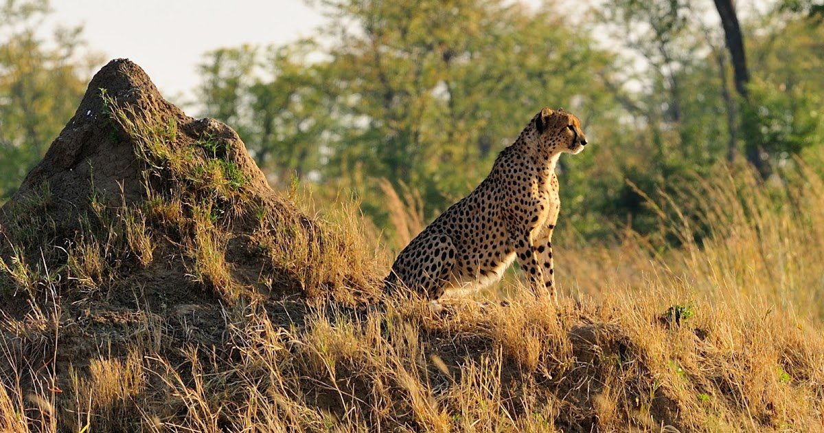 Vantage One Credit Union >> Scientists urge endangered listing urged for cheetahs - The Archaeology News Network