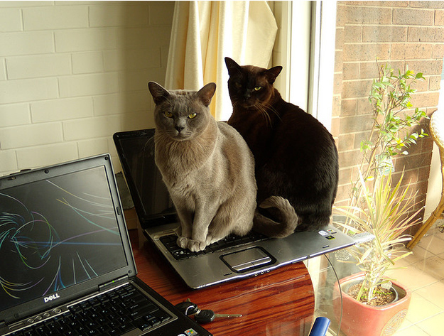 Funny Amp Cute Cats Using Laptop Funny And Cute Animals