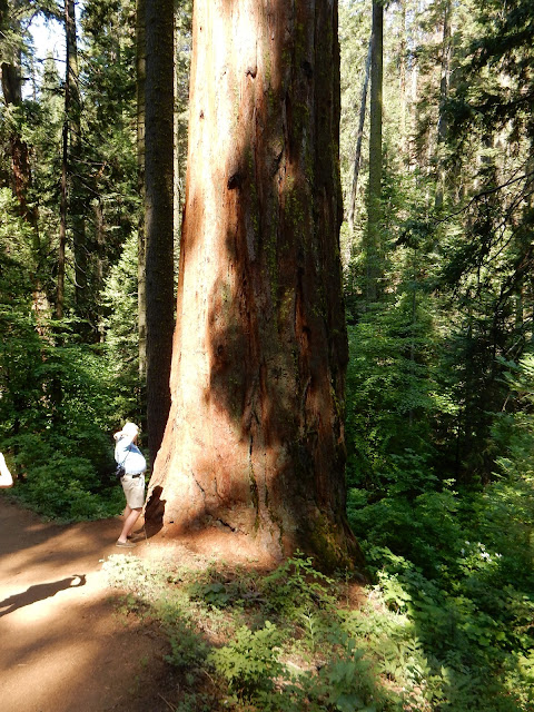 Giant Sequoias, Yosemite National Park, California, US, Elisa N, Blog de Viajes