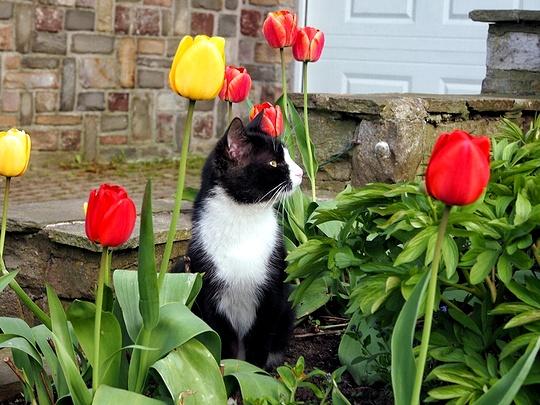 cat tulips