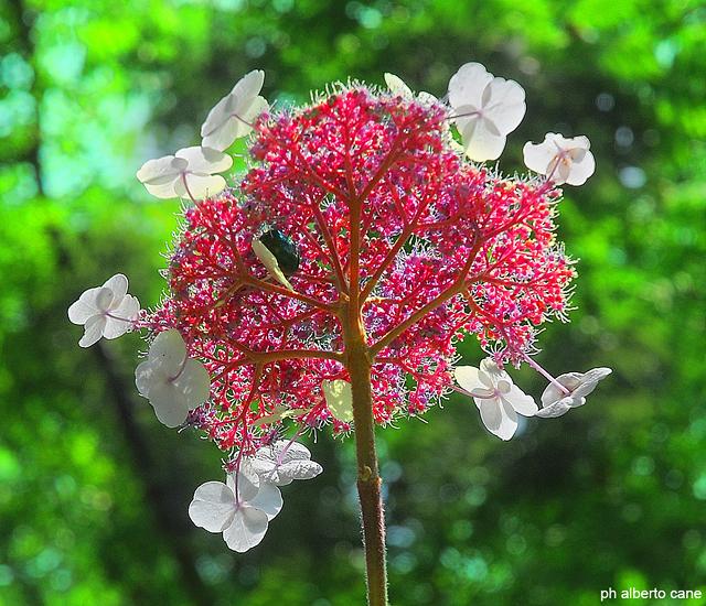 Ortensia arborea (Hydrangea arborescens L.)