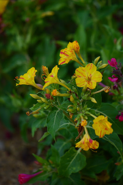 mirabilis jalapa, four o'clocks, marvel of peru, desert garden, small sunny garden, amy myers, photography