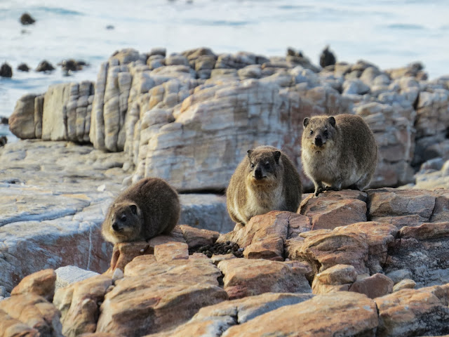 Rock hyraxes (aka dassies) in South Africa