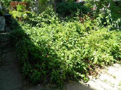 Leslieville Toronto Summer Front Garden Cleanup Before by Paul Jung Gardening Services--a Toronto Gardening Company