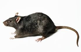 Ondo State Govt Confirms Five Cases Of Lassa Fever