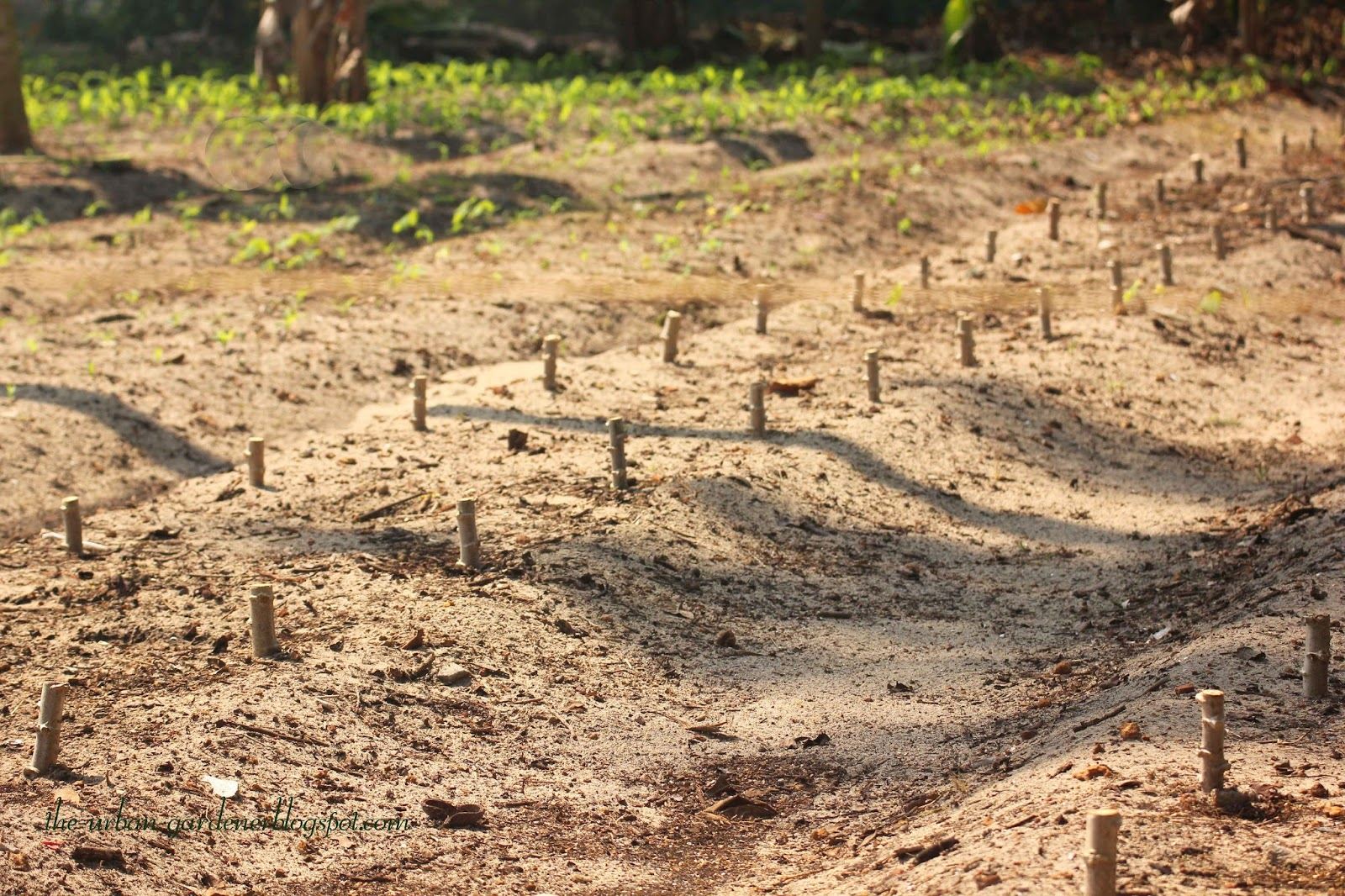 The Urban Gardener | Tapioca At Marari Beach