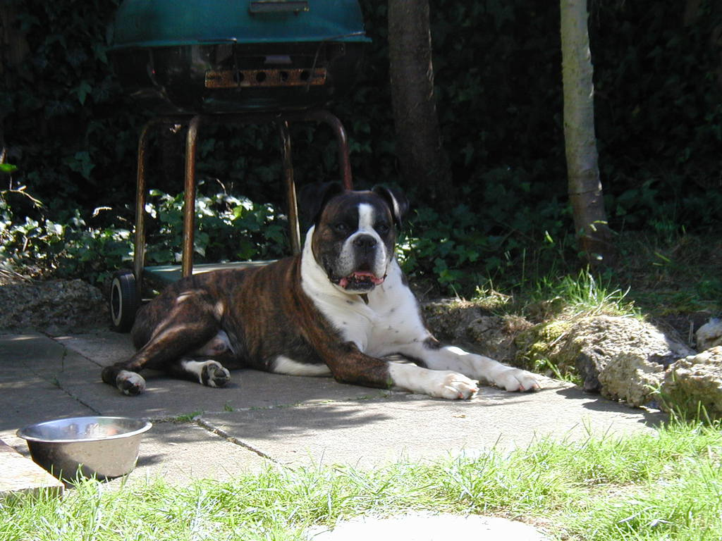 Latest Cute Wallpapers For Facebook Boxer Dog Perfect Hd Wallpapers 2013 All About Hd Wallpapers