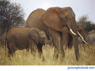Apakah Gajah Memiliki Suara Paling Keras