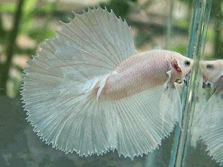 7000 Gambar Ikan Cupang Jarum HD Terbaru