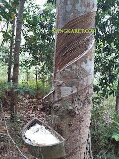 https://www.kangkaret.com/2019/10/cara-perawatan-pohon-karet-yang-baik.html