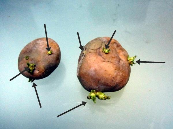 Tanamsendiri Com Grow Your Own Tanam Sendiri Ubi Kentang Solanum Tuberosum