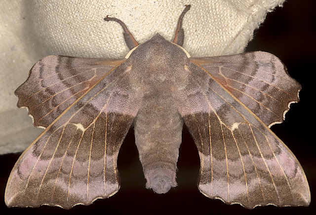 Poplar Hawk-moth, Laothoe populi. Crowborough, 26 June 2017.