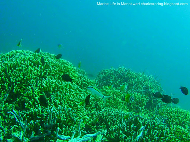Snorkeling and Freediving in Manokwari with Charles Roring