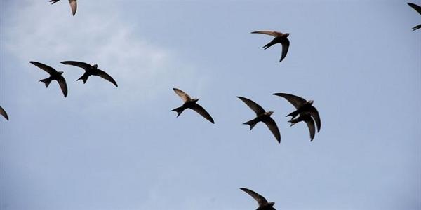 Το πετροχελίδονο μπορεί να πετά δέκα μήνες χωρίς στάση!