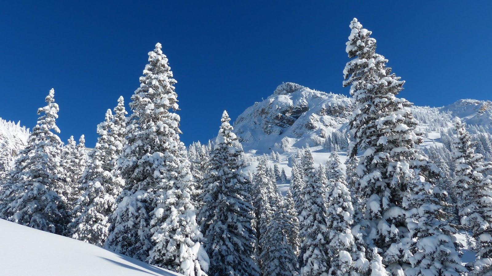 冬の青空の下の雪が積もった樅の木の森