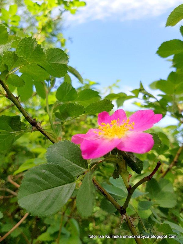rozyczka, kwiatek, wiosna, las, rozowy, kwitnie, roslina lecznicza,