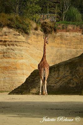 Girafe d'Afrique, Bioparc Doué-la-Fontaine