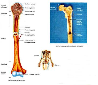 Sistema esquelético tejido óseo anatomía