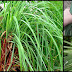 Things We Need To Know About Citronella And Its Oil