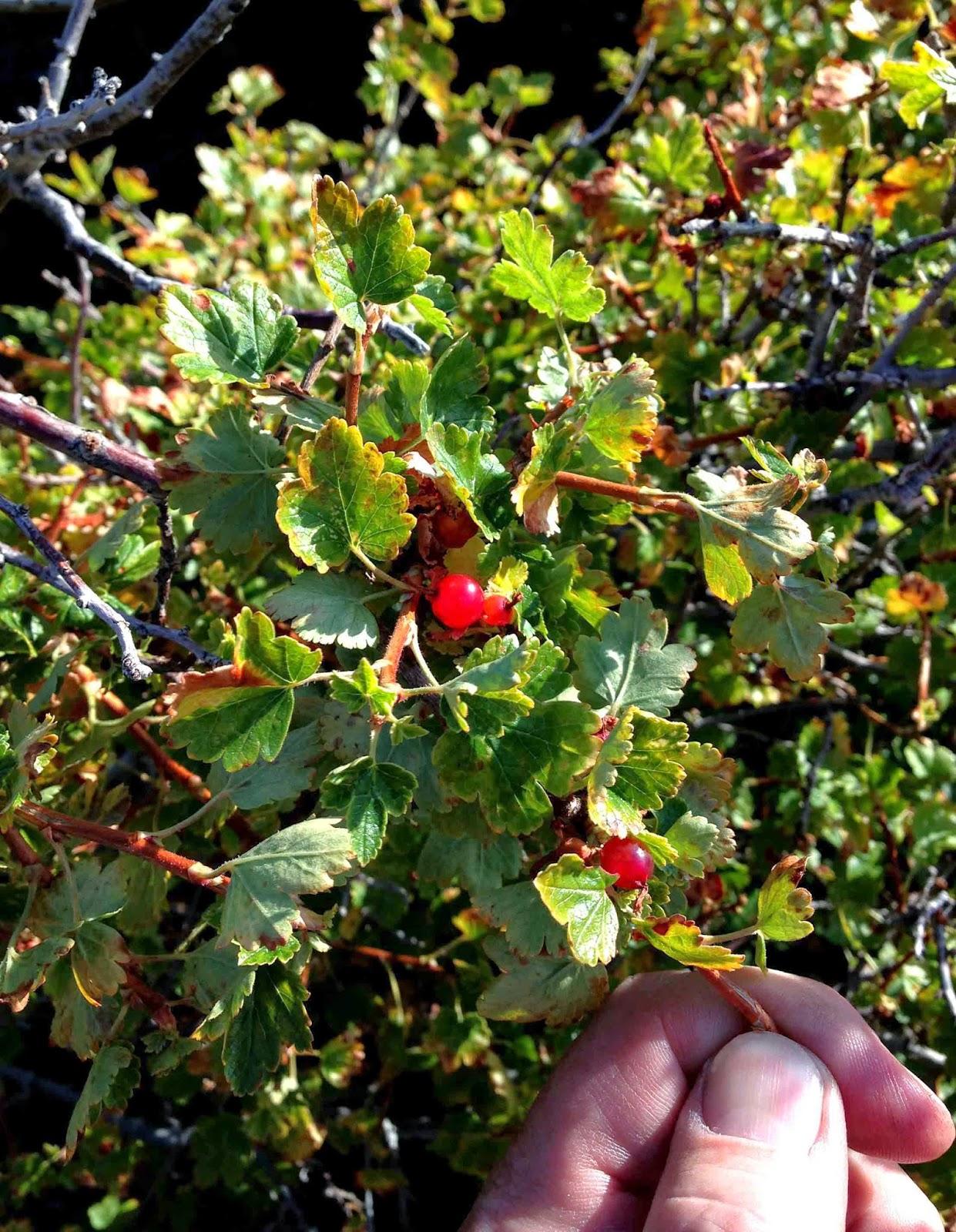 Rocky Mountain Bushcraft Rocky Mountain Edible Plant
