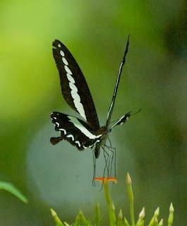 Banded Swallowtail (Papilio demoleon)