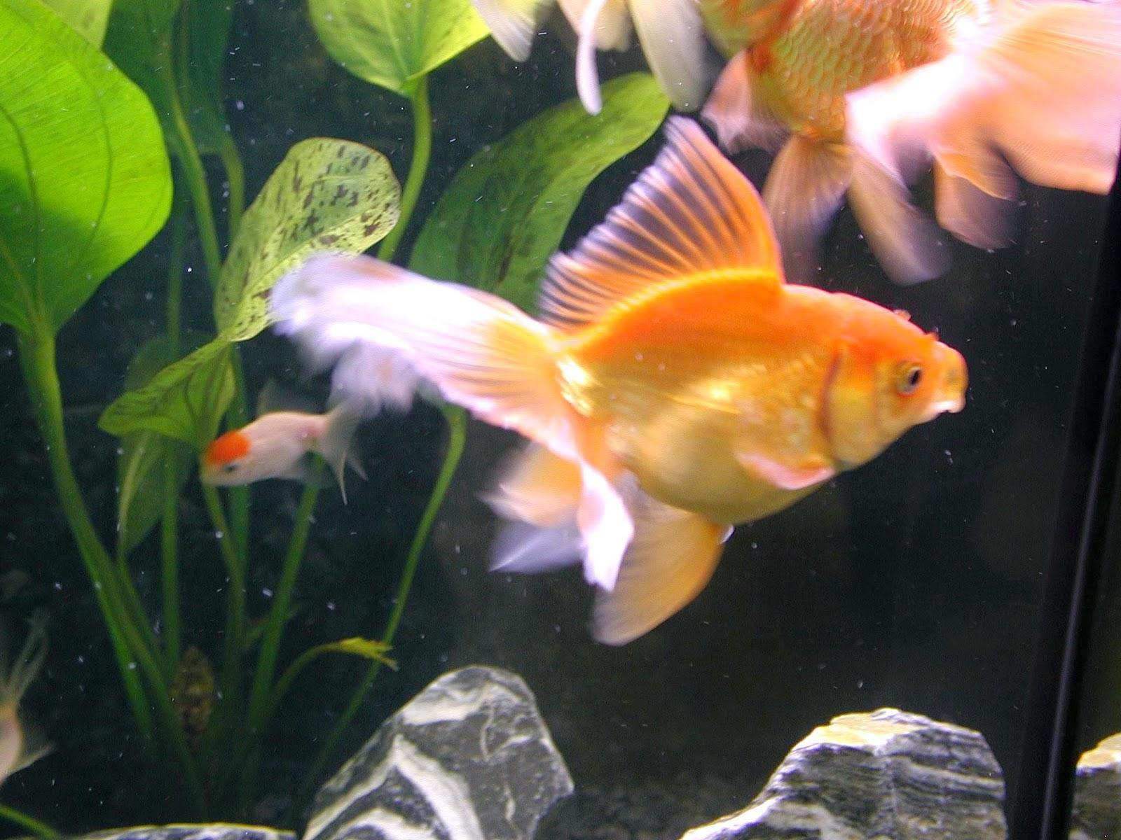 ikan paling di gemari di indonesia