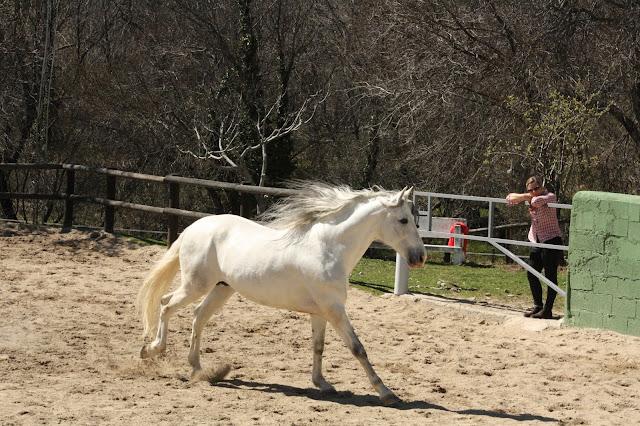 caballo cartujano selto en la pista de hípica Miraflores