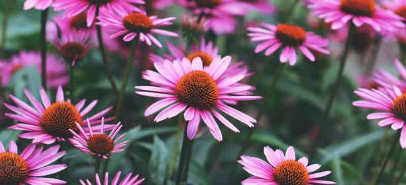 Coneflower, Echinacea Benefits, Echinacea Plant, Echinacea Purpurea, Echinacea Tea