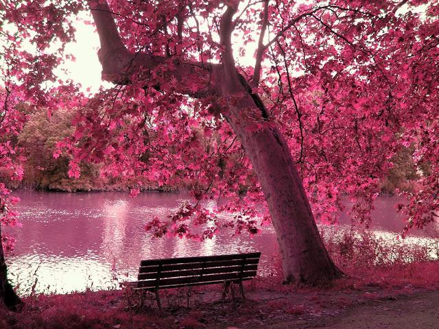 Pembe ağaç ve Göl