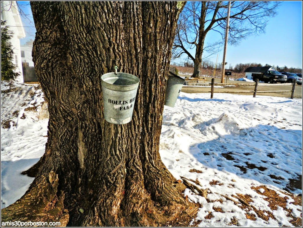 Maple Sugar Season en Massachusetts: Cubos en los Árboles