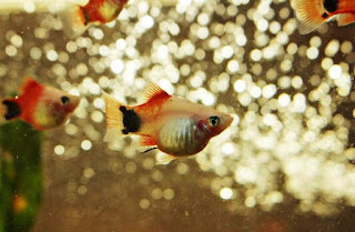 Ikan Hias Aquarium Mini Platy