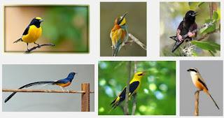 Daftar Harga Burung Kicau Terbaru Juri Lomba Kontes Burung Pekicau