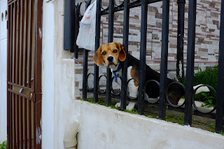 Dog behind bars in Puriscal.