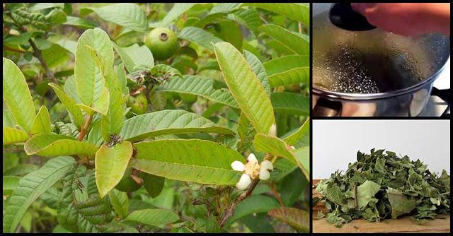 Guava Leaf Tea May Help Improve Diabetes Symptoms