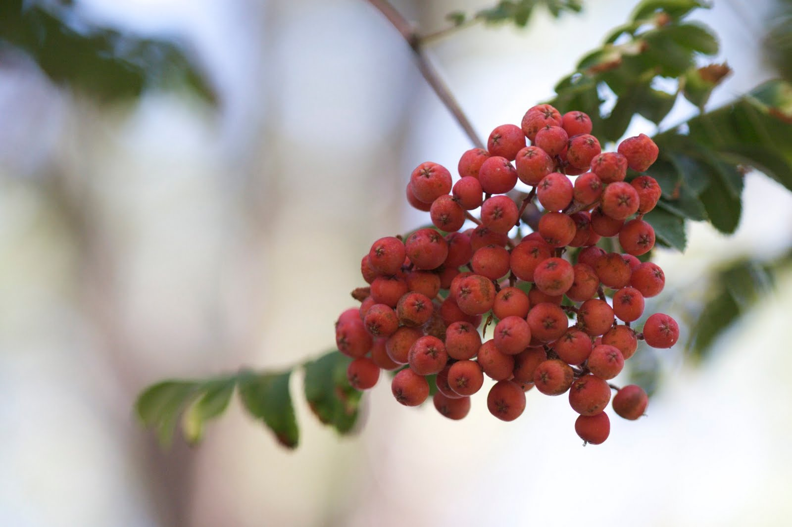 Growing Up I Was Told Mountain Ash Berries Were Poisonous M Sure The Lie Wasn T Intentional My Family Just Didn Know Any Better