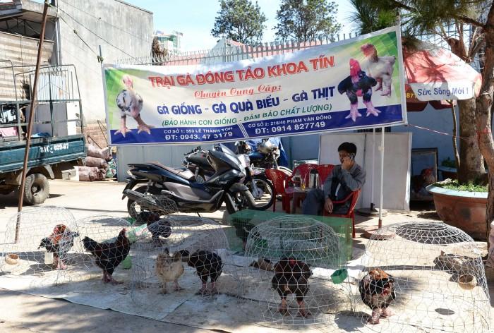 Gia Lai: Gà Đông Tảo bán tại Phố núi Pleiku dịp cận Tết