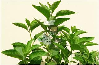 Diagram :vernonia amygdalina (singha,1966)