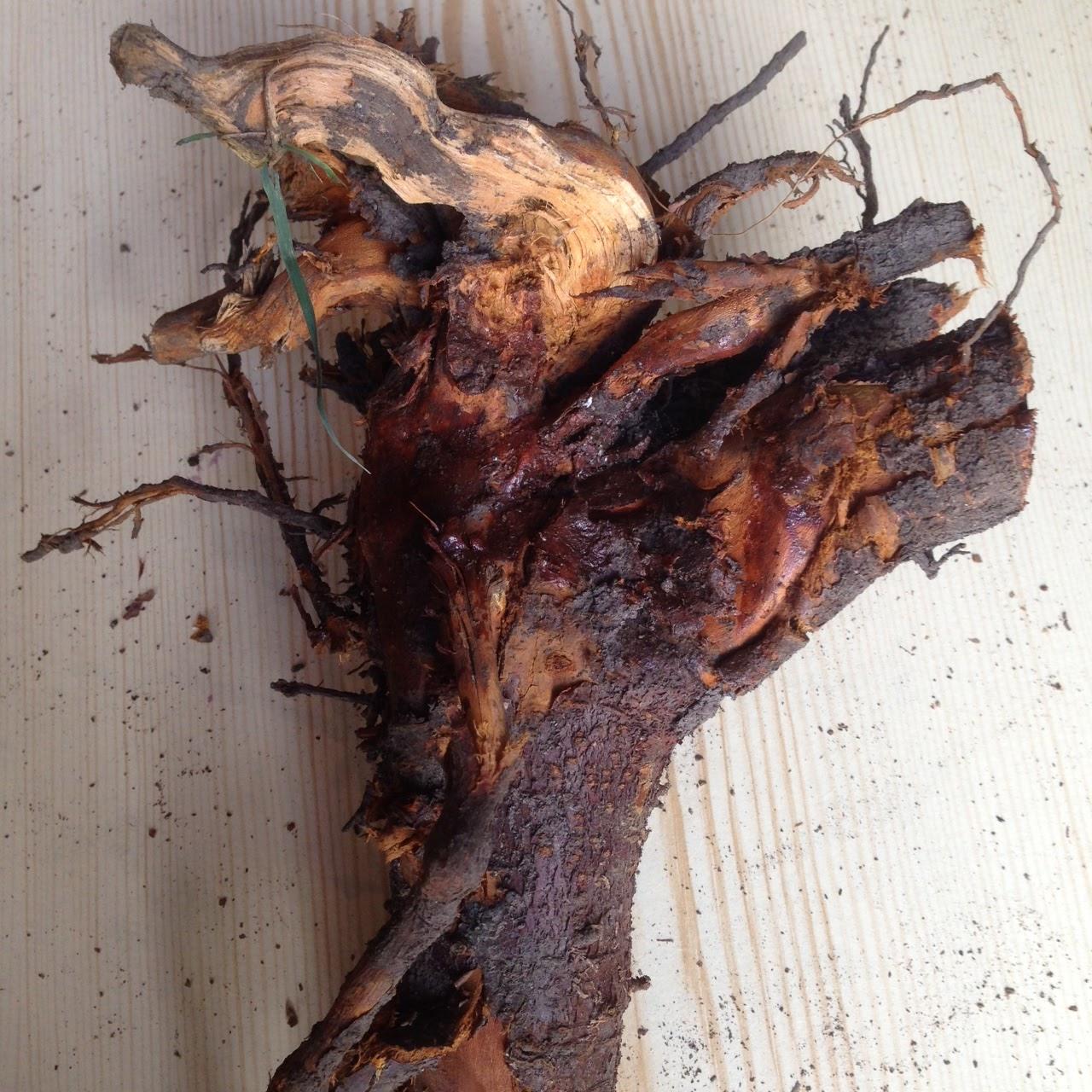 Salt Water New England The Irish Blackthorn Walking Stick