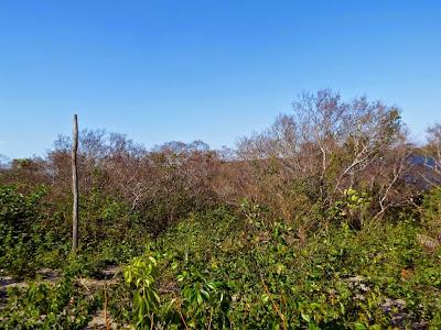 Aves do tocantins, Chorozinho-da-caatinga, Herpsilochmus sellowi, porto nacional, apa do lago de palmas, palmas, extinção, aves, birdwatching, natureza, meio ambiente, animais