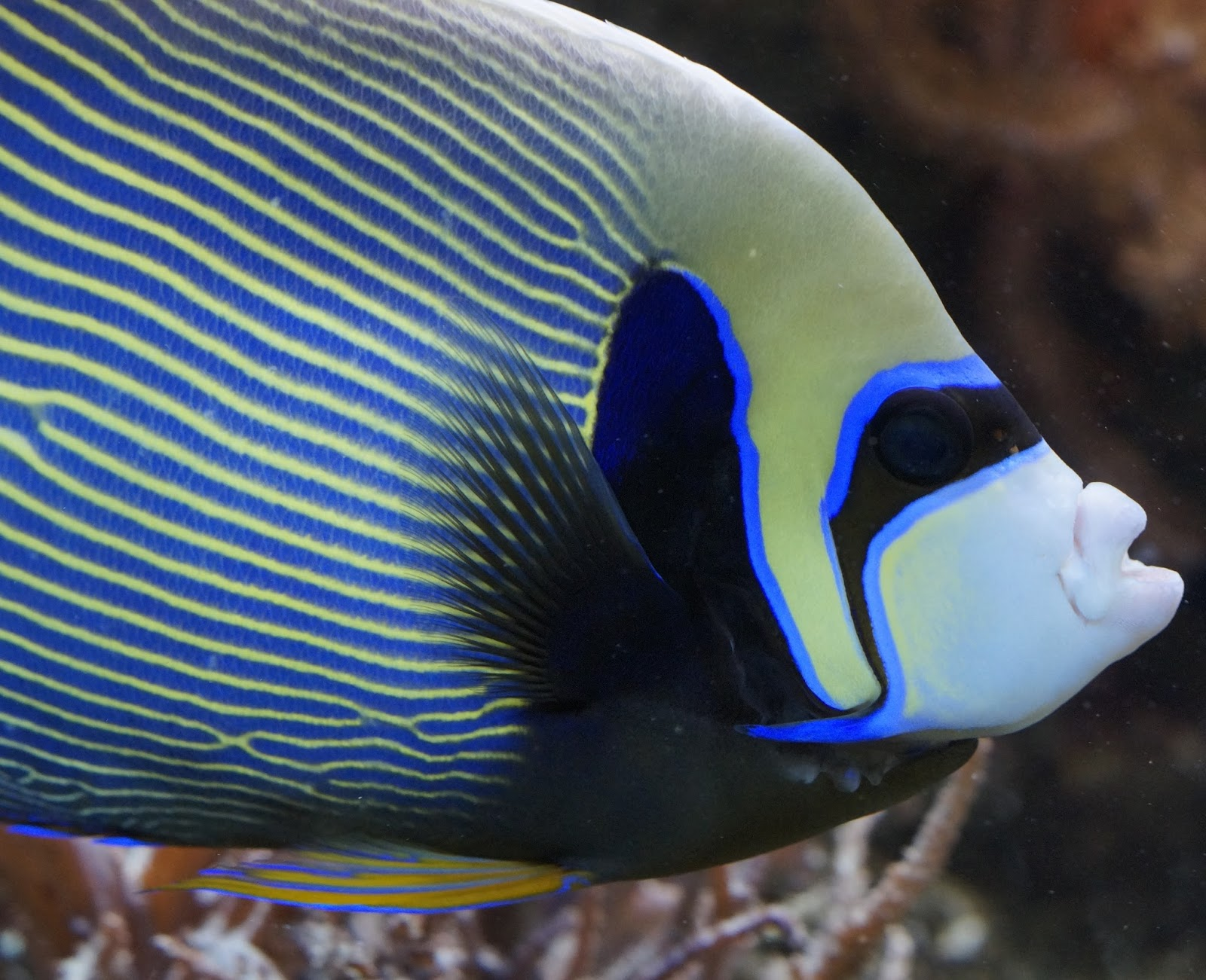 Picture of a emperor angelfish.