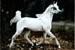trotting Arabian mare