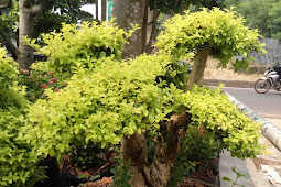 JUAL POHON BONSAI LEGISTRUM KUNING | BONSAI HIAS KI HUJAN MAS | TANAMAN BONSAI LEGISTRUM